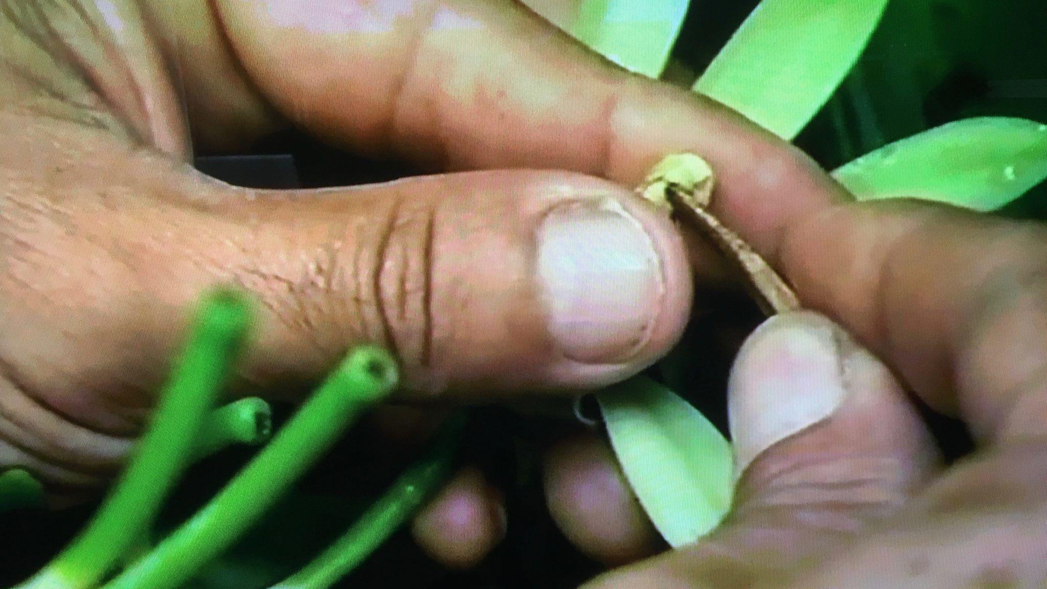 Manual pollination of Vanilla planifolia