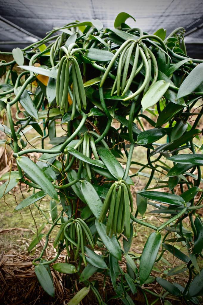 Vanilla shrub on plantation in Saint Aubin, Mauritius