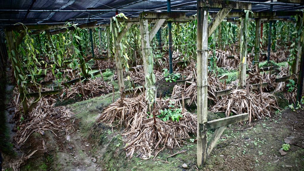 Vanilla plantation, Saint Aubin, Mauritius