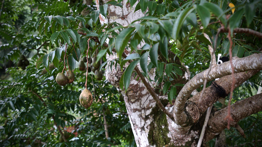 Unripe nutmeg fruits on nutmeg tree (Seychelles)