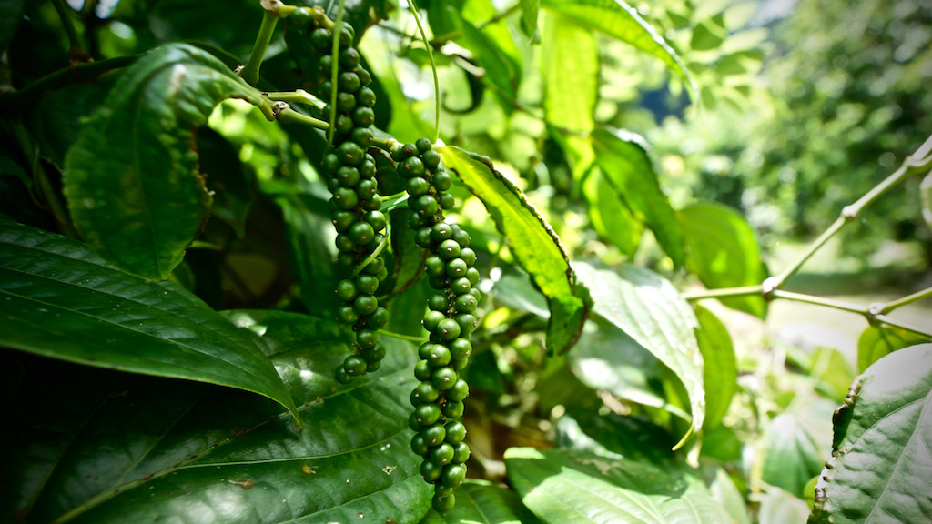 Unripe black pepper on pepper shrub (Seychelles)