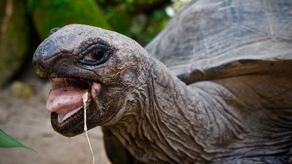Riesenschildkröten - sowas wie das Wappentier der Seychellen, hier im Botanischen Garten von Mahé