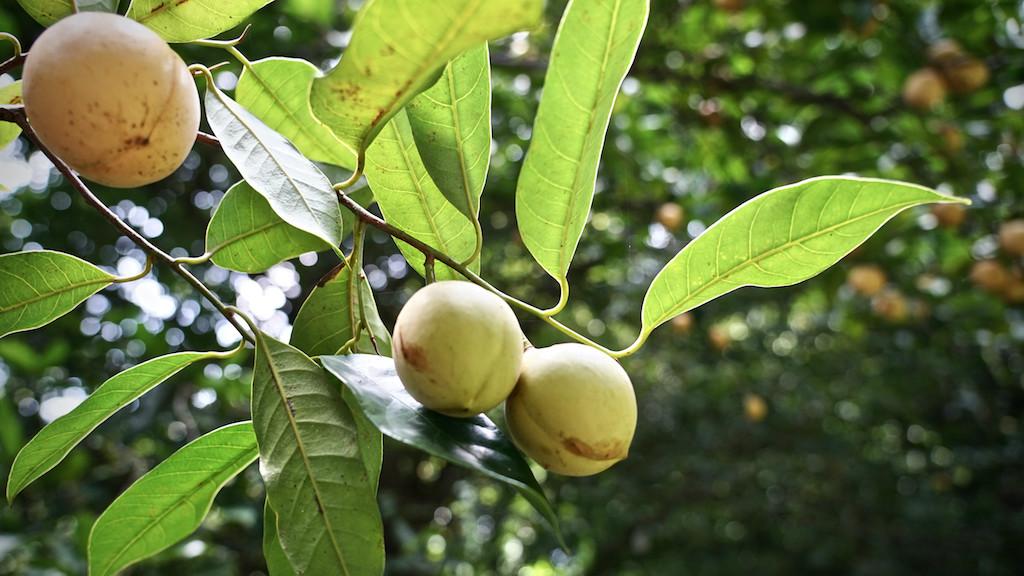 Unreife Früchte des Muskatnussbaums Myristica fragrans