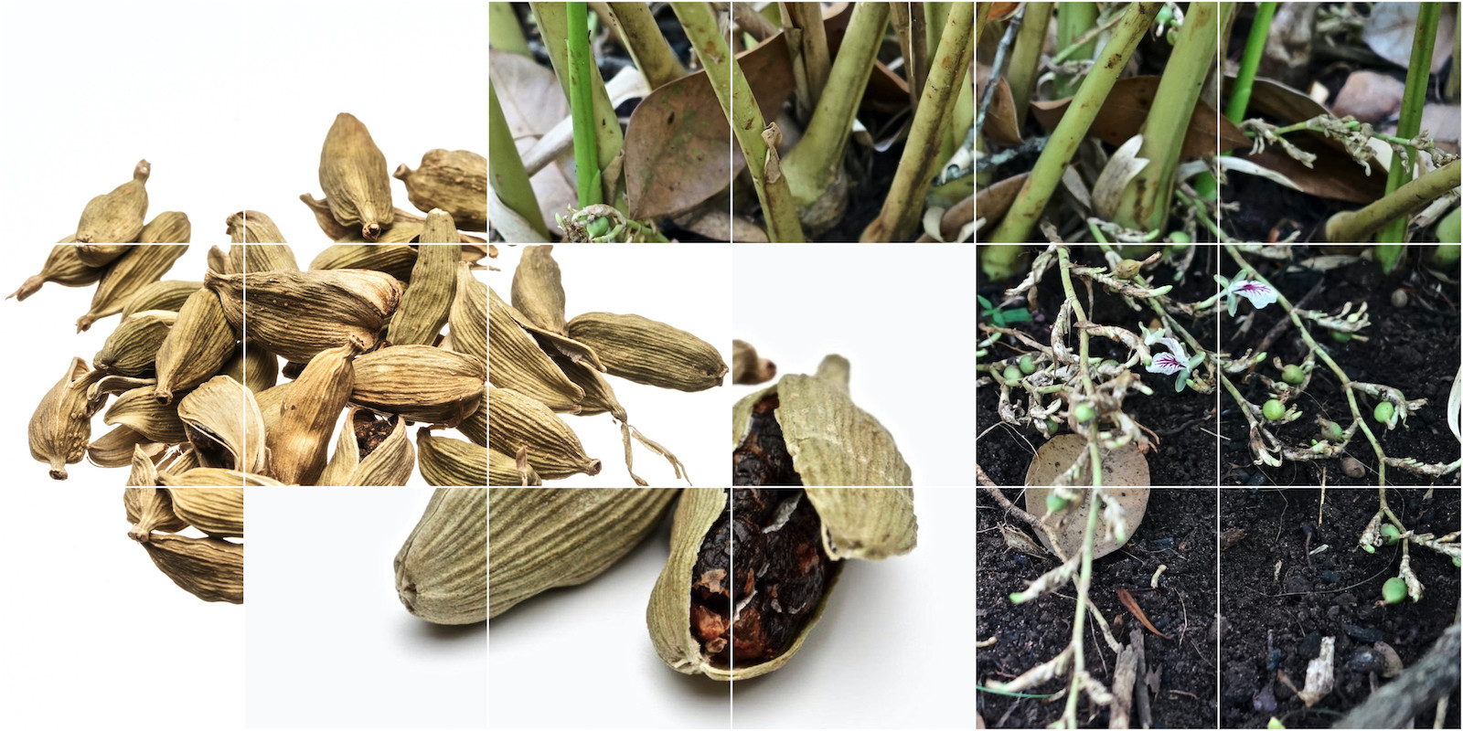 Cardamom Kardamom Elettaria cardamomum