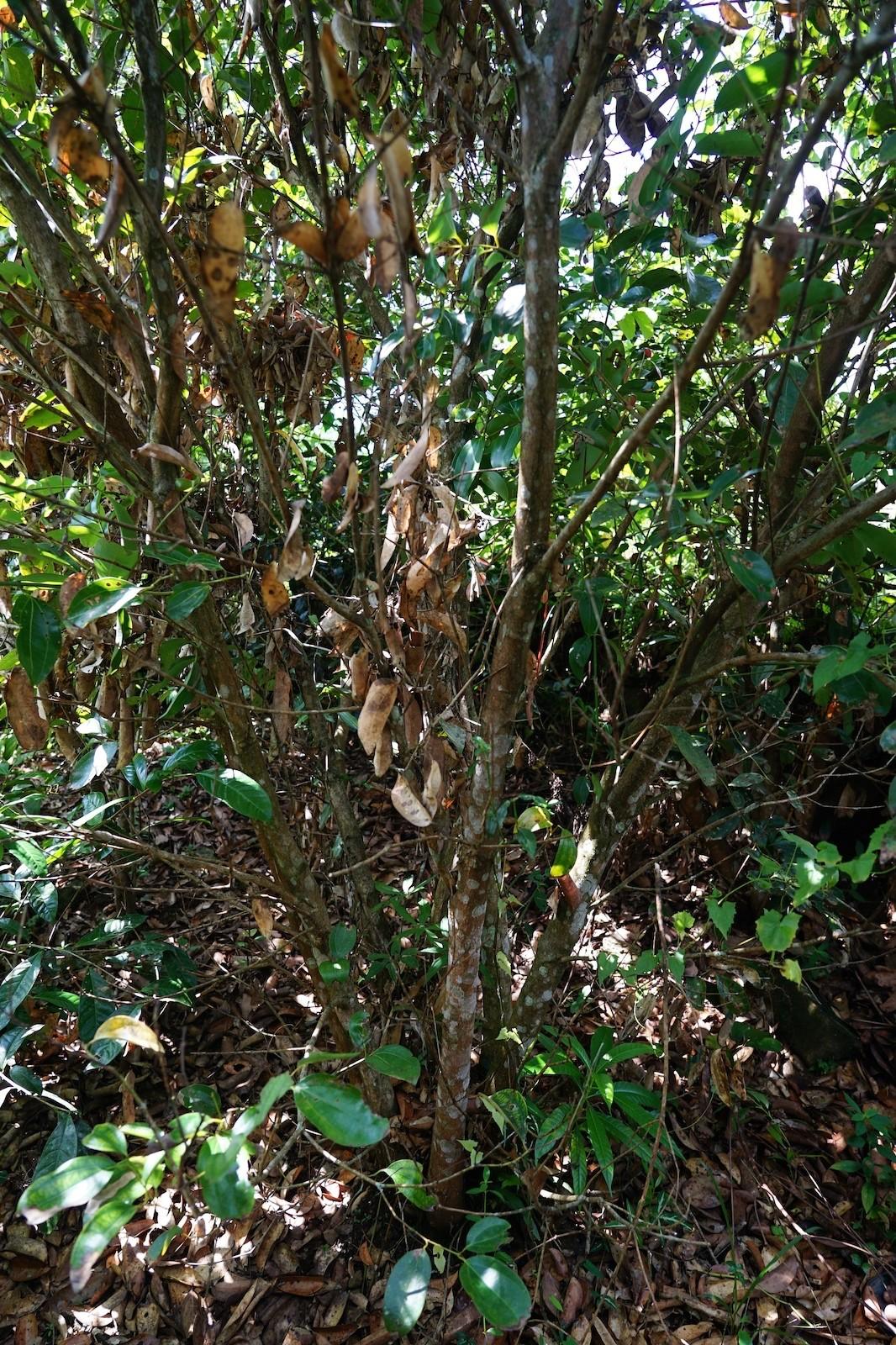Echter Ceylon Zimt wächst am besten in seiner natürlichen Waldumgebung.