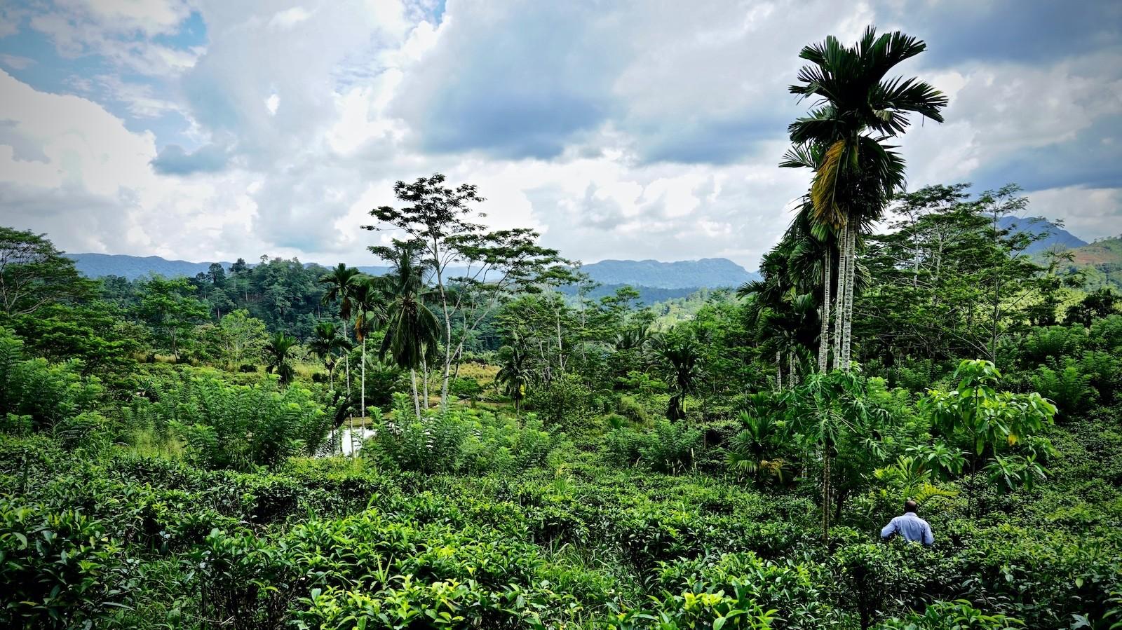 Sri Lanka echter Ceylon Zimt in der Teeplantage