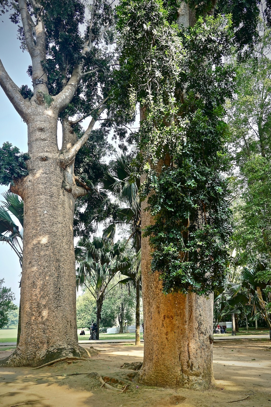 Wuchtiger Baumbestand im Royal Botanical Garden von Peradeniya, Sri Lanka