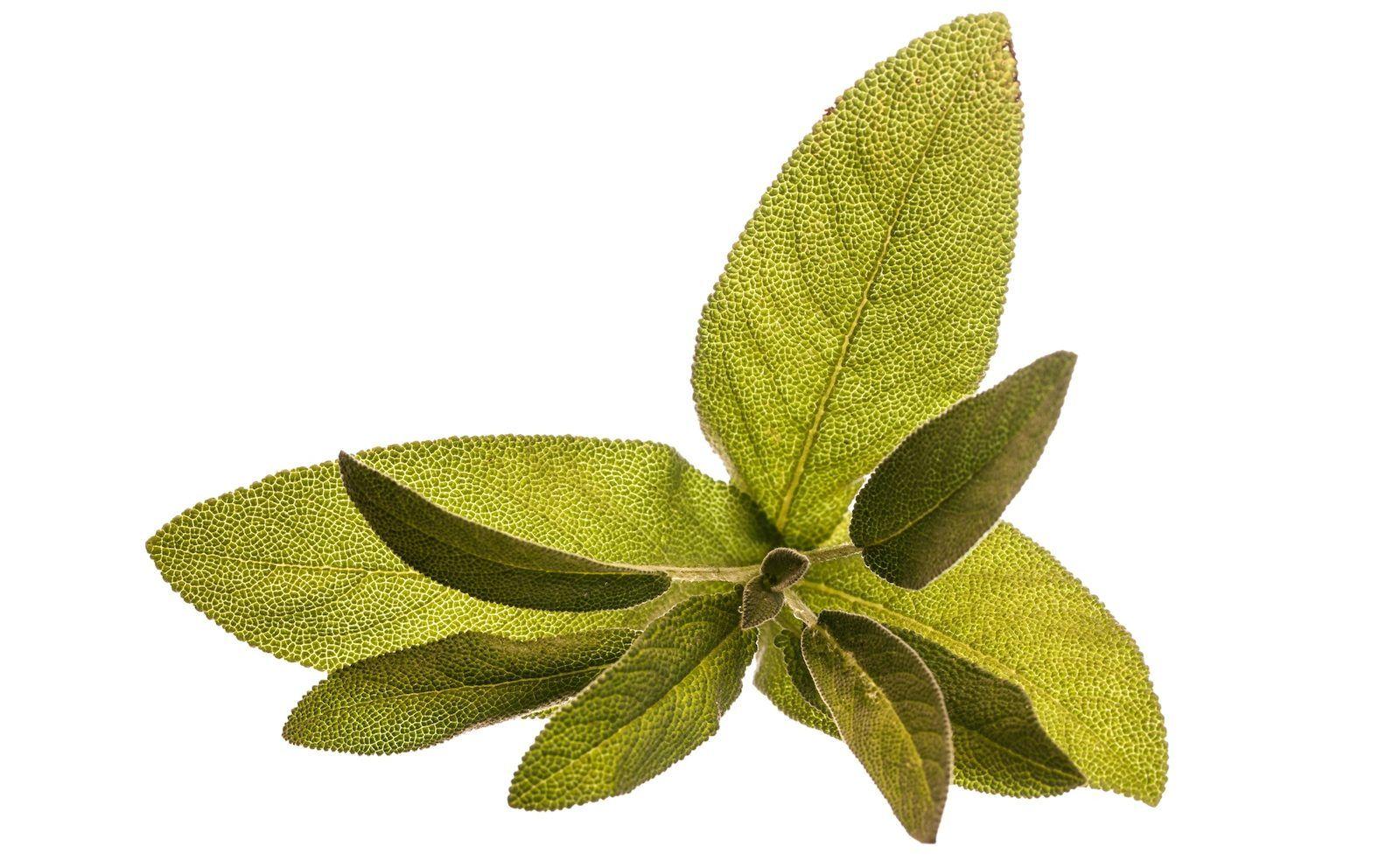 Salbei (lat. Salvia officinalis) ist das Heilkraut unter den mediterranen Gewürzkräutern. Saltimbocca gegen Herpes?